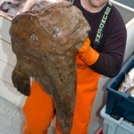 Peter K. Prybot/CFN photo In this photo from 2007, crewman Mike Flaherty holds up a monkfish aboard gillnetter Kathryn Leigh in Gloucester.