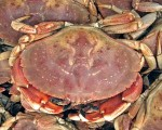jonah-crab-backer
