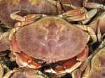 Jonah crab.  Note the yellow spots on the carapace, which distinguish the species from rock crabs with purplish-brown spots.  (MA DMF photo)
