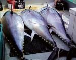 tuna-backer