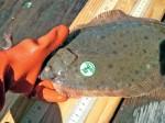 JR1-Tagged-flounder