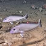 tilefish_pair_NOAA