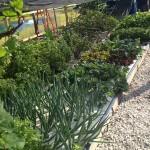 aquaponic_plants