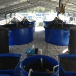 Four 800-gallon tanks are used for the basic AES aquaponics system.