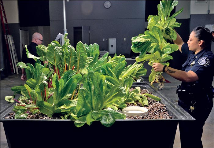 Sheriff's Deputy Hazel Pablo harvests large plants of romaine lettuce at the Denver County Jail. Officers at the jail have launched a pilot program using aquaponics to grow their food. (Kathryn Scott Osler/The Denver Post photo)